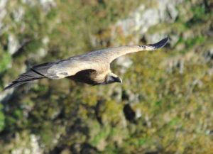 Le majestueux vautour fauve