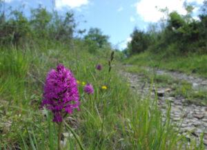 Orchidée Anacamptis au bord d'un sentier