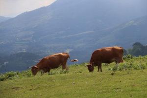Les betizus, vaches sauvages du Pays Basque